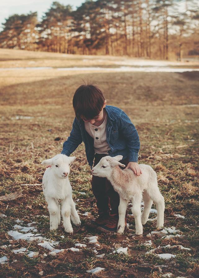 lamb114